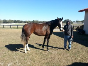 Sweet C Rockett Two year old by Dr Rockett out of Be My Guest